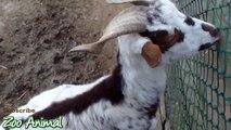 Happy goats in farm animals - Fimal