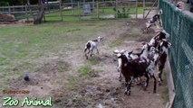 Happy goats in farm animals al video for kids - Animais TV
