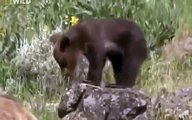 Grizzly Bears Fighting Wolves In The Wild [Full Nature Wildlife Documentary]