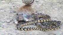 Animal Real Fight - Squirrel vs Snake másolata
