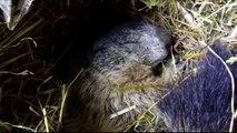 Hautes-Alpes : le réveil d'une marmotte jour après jour en vidéo