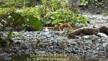 釣り上げたイワナをキタキツネが奪う20150926 A fox steals Japanese char
