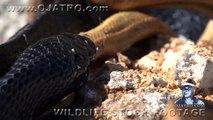 Indigo Snake Eats Rat Snake 01 - Snake vs Snake