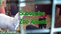 Sheep and lambs happy in his house on farm - Farm animals vidasd
