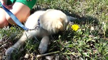 Adorable Puppy - First Time in the Park & Smelling Flowers - English Cream Golden Retriever 8 Weeks Old (2 Months)