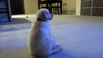 Cute Puppy Watching TV For the First Time - English Cream Golden Retriever 8 Weeks Old (2 Months)
