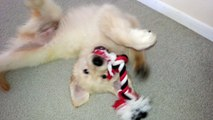 Adorable Puppy Chewing on Rope Toy - English Cream Golden Retriever 8 Weeks Old (2 Months)