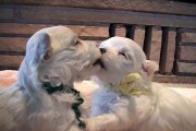 Cute Maltese Dog Puppies Part 5!!