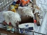 Cute 8 Week Old Maltese Maltese Dog Puppies Part 8