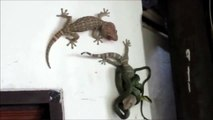 Un lézard vient en aide à un autre lézard attaqué par un serpent... Solidarité animale