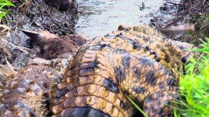 attaque crocodile