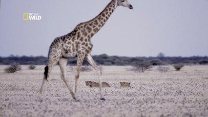 Lions chassent girafe