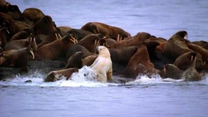 Ours polaire attaque des morses