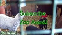 Sheep and lambs house on farm - Farm animals vide