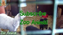 Sheep and lambs happy in his house on farm - Farm animals video for Kids - An