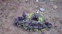 un serpent a essayé de manger un porc épic ,il va regretter cette decision..