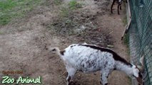 Happy goats in farm animals - Funniest animal vidwer34534ima