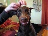 Chien,dog,dobermann,doberman,doberman drole,drole,funny,fun