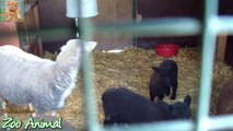 Sheep and lambs happy in his honimals video for Kids - Animais TV