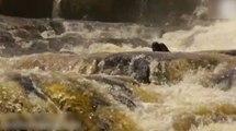 Un homme vient en aide à un singe prit au piège dans une rivière !