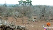 Este leopardo na próxima vai pensar duas vezes antes de atacar um Porco-espinho