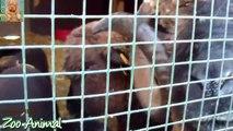 Sheep and lambs hapon farm - Farm animals video for Kids - Animais