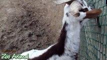 Happy goats in farm animals - Funniest animal vi