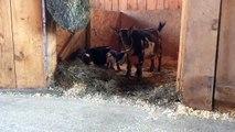 Ces bébés chèvres âgées d'un jour tentent de faire leur premier saut. Vous allez craquer !