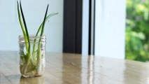Save Some Green by Regrowing Green Onions in Water