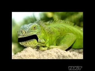 Humor: Qué le dijo una iguana a otra iguana