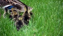 Following a Mother Duck and Her Cute Little Ducklings