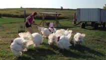 Poules, dindons, poulets, voici une belle compilation hilarante