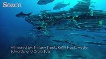 Devasa balina köpek balığına eşlik eden köpek balığı sürüsü
