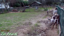Happy goats in farm animals - Funniest animal vi3243445345