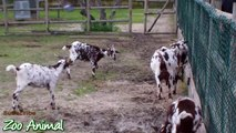 Happy goats in farm animals - Funniest animal video for kdf swer5324234