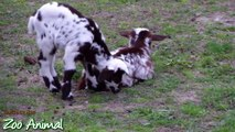 Happy goats in farm animals - Funniest animal video for kids - Animais TV