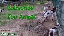 Happy goats in farm animals - Funniest animal