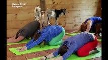 Découvrez le yoga avec des chèvres, bien plus cool que sans chèvres