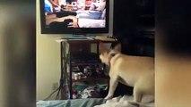 Ce chien a une folle envie de jouer avec les chiens dans la TV... ahah le pauvre