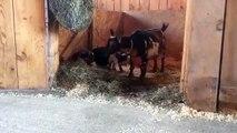 Ces bébés chèvres qui viennent de naitre apprennent à sauter et c'est trop mignon