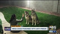 Mesa family says someone poisoned their dogs with anti-freeze
