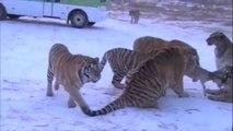 عالم الحيوان   مقاطع صادمة ومشوقة تكشف كيف يتم اطعام الاسود والنمور فى حدائق الحيوان امام الناس  18