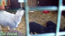 Sheep and lambs happy in his house on farm - Farm 34556456ds - Animais TV