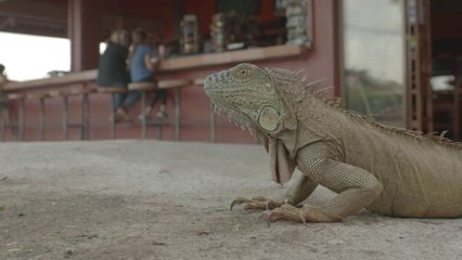 The road is alive with sloths, Iguanas & crocodiles