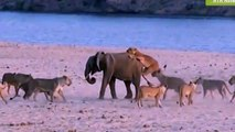 Baby Elephant win the fight - Best Wild Animals Fighting – Craziest Animal Fights Caught !