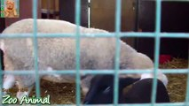 Sheep and lambs happy  house on farm - Farm animals video for Kids - A