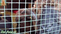 Sheep and lambs happyrm - Farm animals video for Kids - Animais TV
