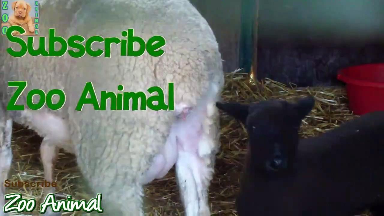 Sheep and la