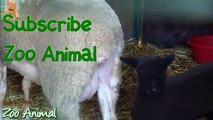 Sheep and lambs happy in his house rm animals video for Kids - Animais TV