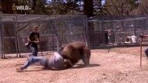 Man vs Bear: les attaques d'ours et plus - Bears - هجوم الدب على مدربهم  وسط صراخ الجمهور